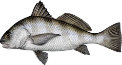 Black Drum - Learn how about the Black Drum, including how to catch and identify it