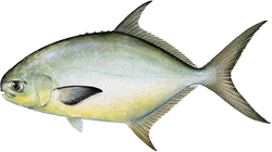 Pompano - Learn all about the pompano. Including how to catch and identify it.