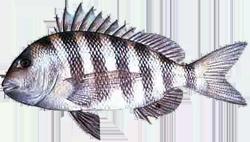Sheepshead (fish)
