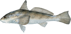 Whiting (fish) - Learn all about the Whiting. Including how to catch and identify them.