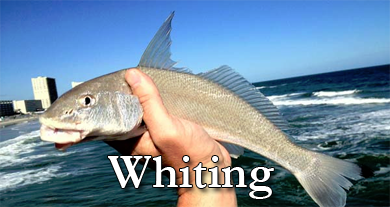 Fishing for Whiting