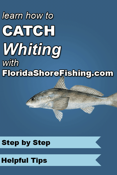 One of the most abundant fish found around Florida's beaches is the whiting.  Learn how to catch them here!