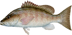Mangrove Snapper - Learn all about the Mangrove Snapper.  Including how to catch and identify it.