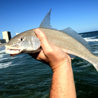 whiting200x200