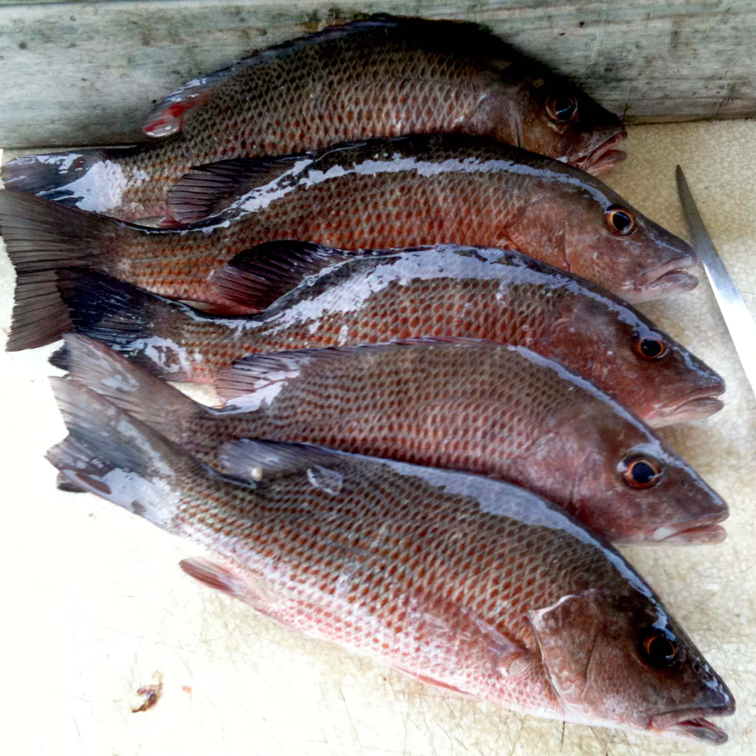 Mangrove snapper a definitive guide fishing from for Snapper fish florida