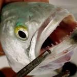 На фото изображены острейшие зубы рыбы луфарь (bluefish), научное название: Pomatomus saltatrix