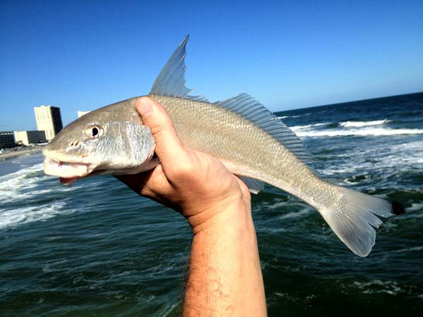 report sunglow pier whiting fishing from florida shores
